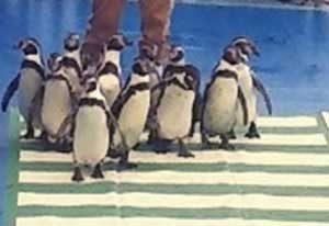 三重県警でペンギンが横断歩道渡るイベントを開催