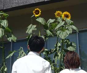 茨城県稲敷署で無事故の願い込められた「ひまわり」開花
